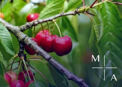 CHERRY ORCHARD EXPORT BUSINESS | SOUTH ISLAND NEW ZEALAND